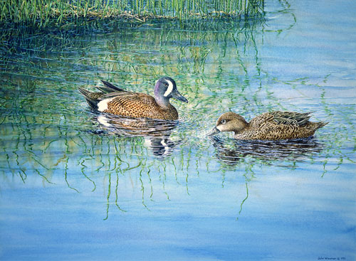 Blue-winged Teals, Private collection, Beauce, Quebec