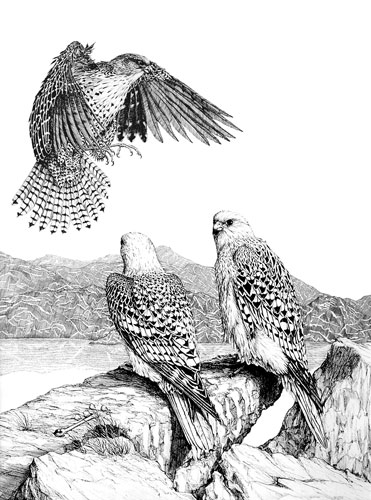 Gyrfalcons, Private collection, Ontario