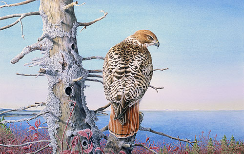 Red-tailed Hawk, Private collection, New-Brunswick