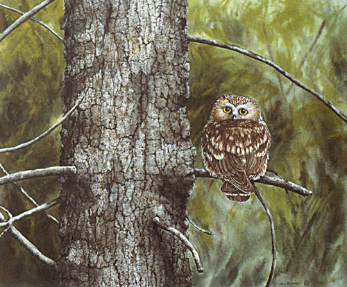 Saw-whet Owl, Private collection, USA